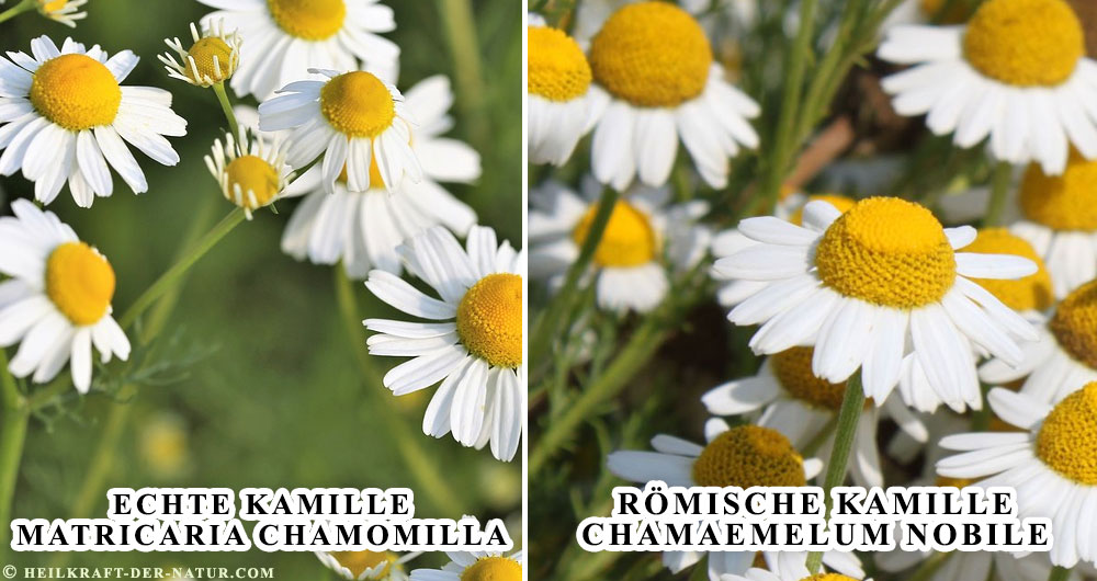 Echte Kamile vs. Römische Kamille
