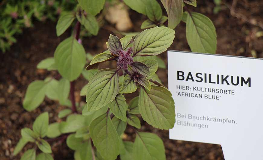 Lila Sorte Basilikum African Blue