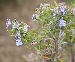 Rosmarin mit Bluete