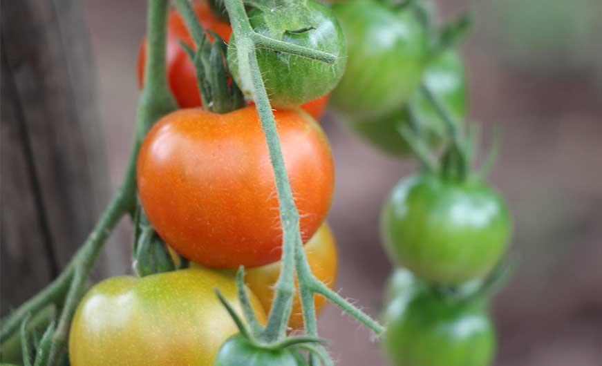 tomaten verschiedener Reifegrade am strauch
