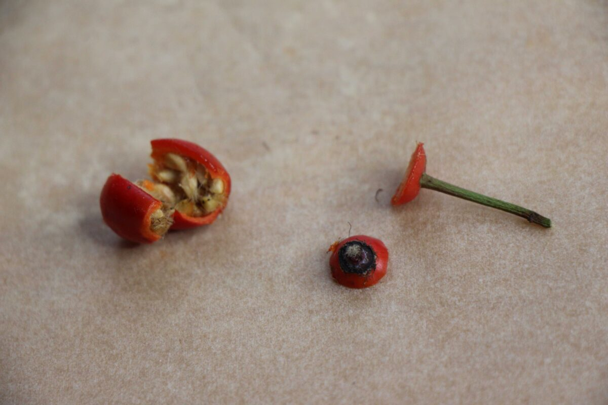 Hagebutte aufgeschnitten Stiel und Blütenansatz entfernt