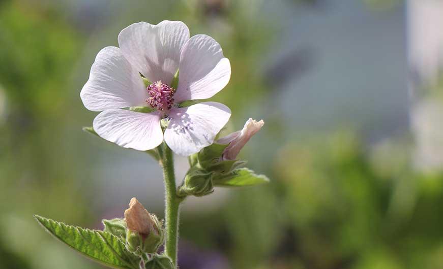 blüte des eibisch rosa